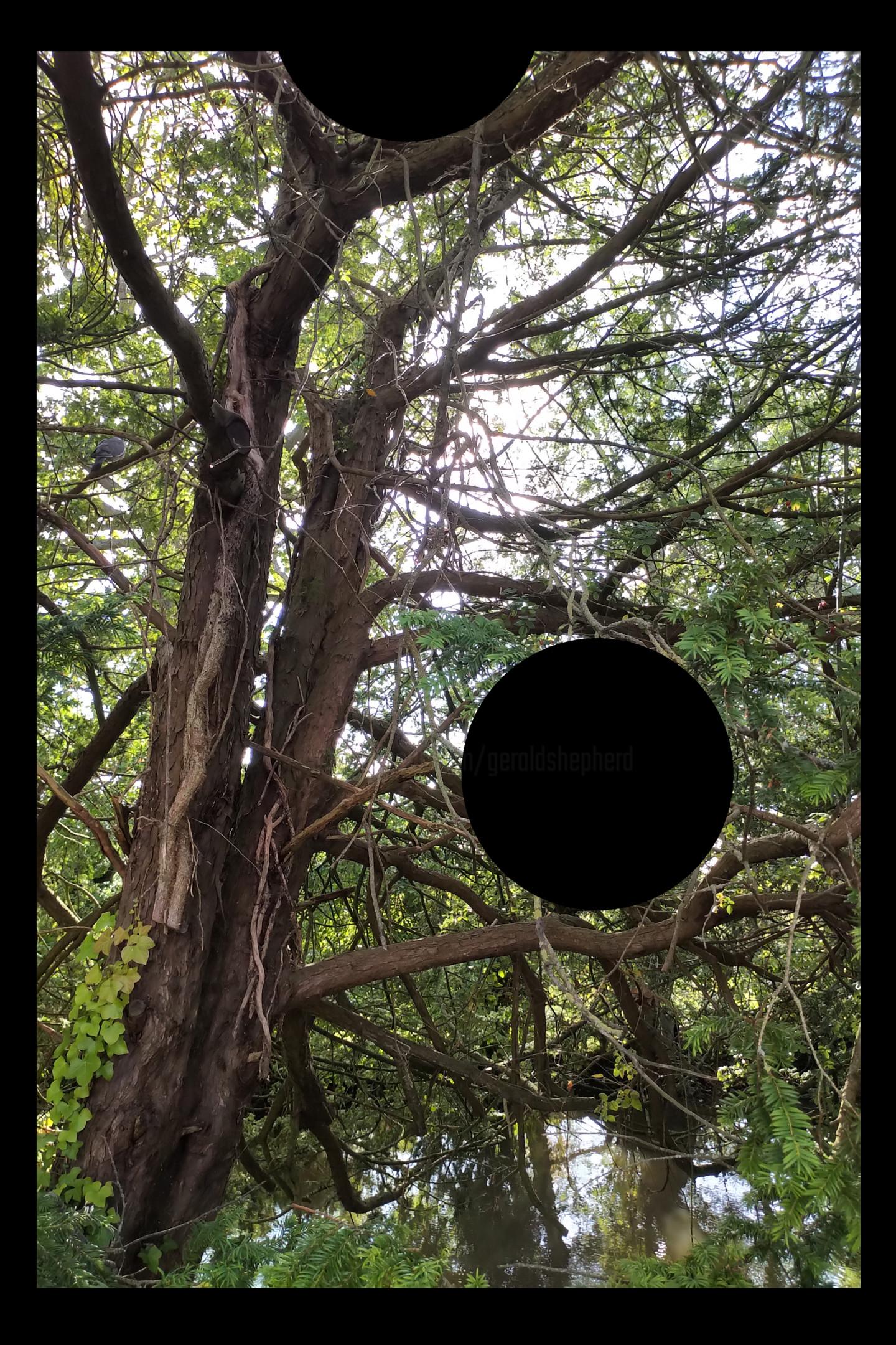 Gerald Shepherd - Black Spot In A Tree