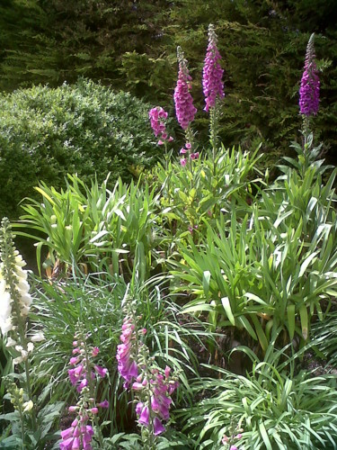 Foxgloves And African Lilies